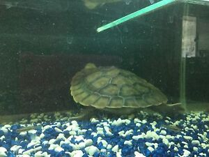 TWO TURTLES FREE TO GOOD HOME COMES WITH COMPLETE SET UP Bli Bli Maroochydore Area Preview