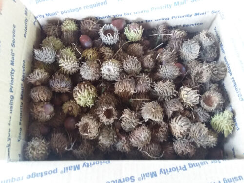 Sawtooth Oak Acorn Caps. Many hundreds included in package. Free Shipping
