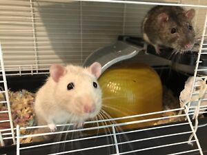 Two male rats with cage and accessories for sale