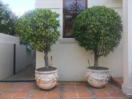 Established figs in decorative concrete pots