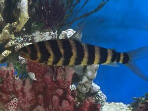 Banded Leparinus for sale