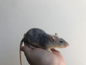 Rattery
