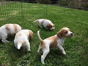 Pure Bred Brittany Spaniel Puppies Mornington Mornington Peninsula Preview