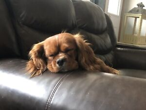 Spaniels | Adopt Dogs & Puppies Locally in Alberta | Kijiji Classifieds