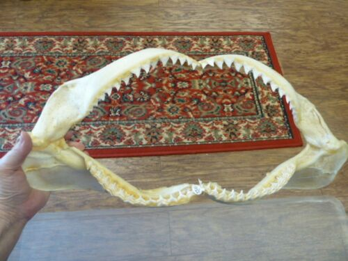 "(sj30-65) 20"" BULL SHARK jaw sharks jaws teeth taxidermy science ichthyology"