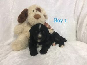 Gorgeous F1 Standard Bernedoodle Puppies