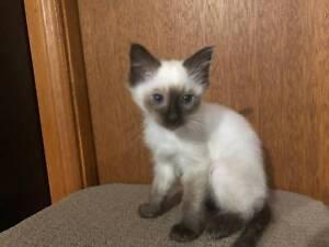 6 Ragdoll kittens