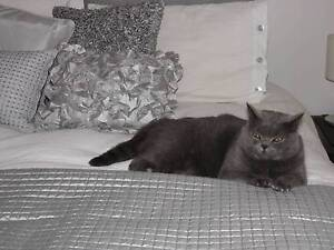 Adult Male British Blue – needs a new home. Hobart CBD Hobart City Preview