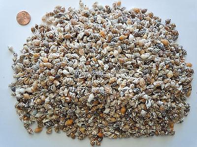 Bulk Sea Shells (Sea Shells Tiny Conch Seashells (Approx 2500 pc) Beach Art Bead Decor Craft)