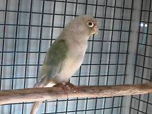 CONURES AND TURKS Nerang Gold Coast West Preview