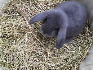 Purebred Mini lop bunnies.Great choice available. Mentone Kingston Area Preview