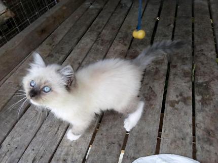 Pure ragdoll male kitten