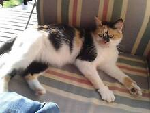 Young female tricolor/calico cat found Richmond Hawkesbury Area Preview
