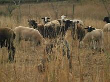 Dorper X Wiltshire Ewes, Ewe lambs and wethers Rocky Cape Circular Head Preview