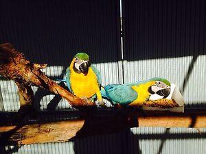 Blue & Gold Macaws Denmark Denmark Area Preview