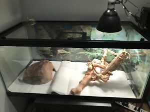 Bearded dragon plus tank and accessories