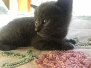 Russian blue cross kitten