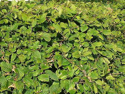 25 Hornbeam 4-5ft,Native Carpinus Betulus Hedging.Makes a Thick & Dense Hedge