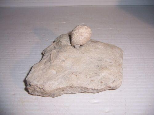 Fossil Holocystites Scutellatus Cystoid Silurian Niagaran Formation Osgood Shale