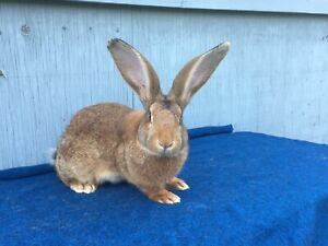 Flemish Giant Kijiji In Ontario Buy Sell Save With