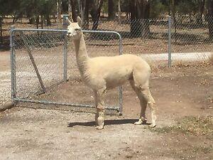 Pet or Herd Guarding ALPACA for sale Hamilton Gawler Area Preview