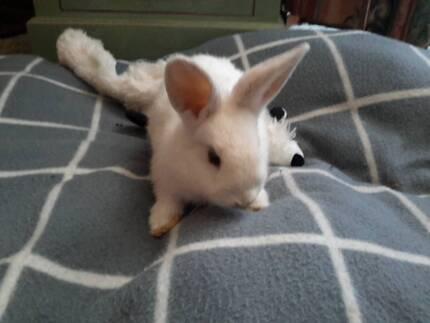 adult boy rabbit