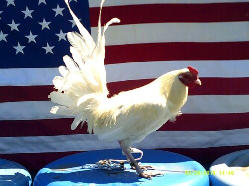 """""""(10+) LC Pure White Poultry Chicken Hatching Eggs"""""""