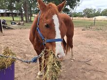 Chestnut Pony Mare For Sale Kingaroy South Burnett Area Preview