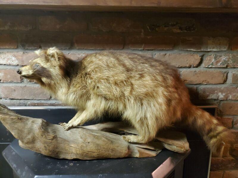 Taxidermy Raccoon Mount