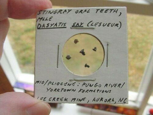 (S1367-L) Micro Fossil Stingray Sting Ray oral teeth male Dasyatis Aurora US