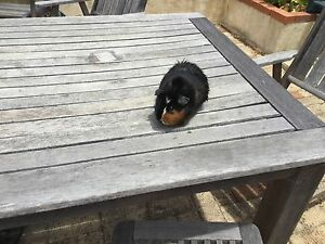 2 x Adorable Male Guinea Pigs - for Sale! Ellenbrook Swan Area Preview