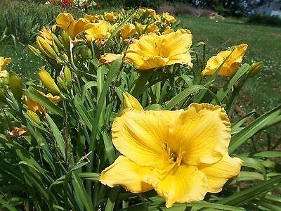 Daylily Bulb (BEAUTIFUL YELLOW DAYLILY FAN TUBER BULB FLOWERS )