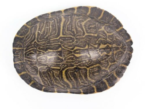 """River Cooter Turtle Shell 6-7"""" (1077-0607) 10UB"""