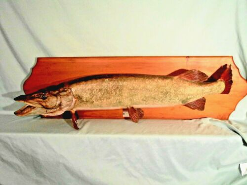 """large Northern Pike taxidermy Wall Mount 35"""" large head well done 1977"""
