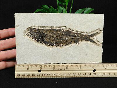 A Big! 51 Million Year Old Knightia Eocaena Fish Fossil & PLANT Fossil Wy 488gr