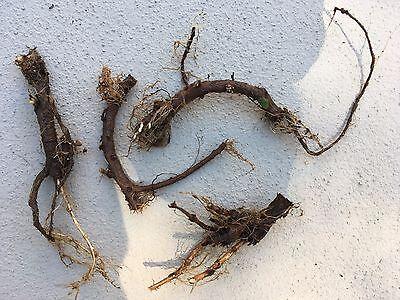 Home Brewers Start Planting, 5 Organic Cascade Hop Rhizomes, $30.00