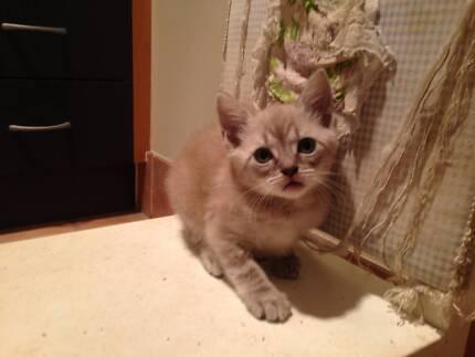 Adorable Ragdoll x kitten