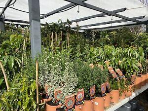 Fruit Trees & Vines, Bush Tucker, Culinary Plants, Seedlings