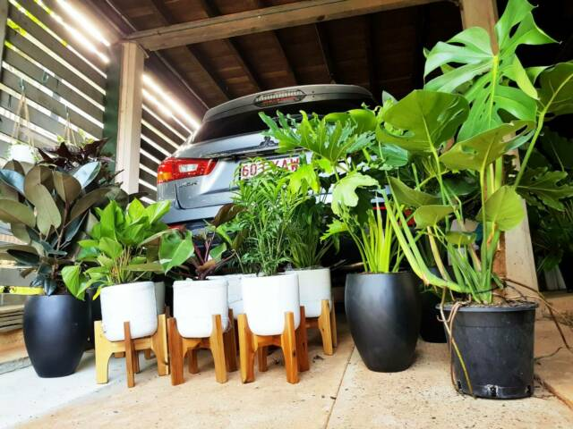 Indoor Plants for SALE at Stafford Heights | Plants ...