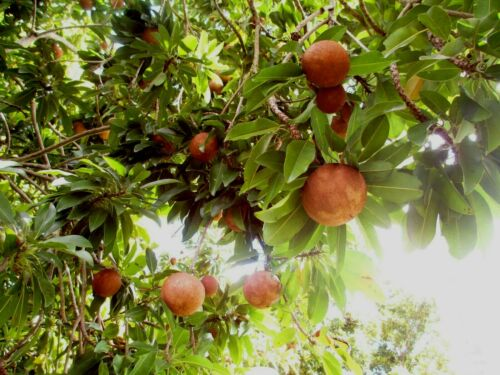 5 LBS FRESH FRUIT,SAPODILLA, NASEBERRY, CHICO,NISPERO,, FREE PRIORITY SHIPPING
