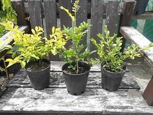 Hedging plants - Box, Murraya, Duranta, Mini Murraya - from $6 West Ballina Ballina Area Preview