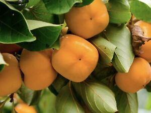 Persimmons FUYU / JIRO / NIGHTINGALE  Glenorie The Hills District Preview