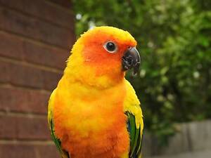 Lost bird-2 years old Sun Conure, name:Cody Doncaster Manningham Area Preview