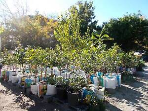 PLANTS, FRUIT TREES, NUT TREES ,TUMERIC ,from$10 all edible plant Maida Vale Kalamunda Area Preview