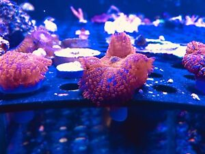 Coral for sale reef tank saltwater