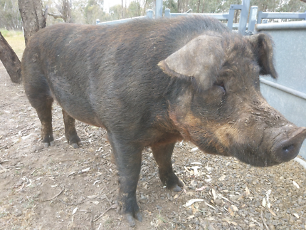 PIG BOAR 20month old DUROC