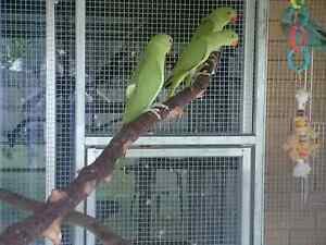 Green Indian Ringneck $50 each Albany Creek Brisbane North East Preview