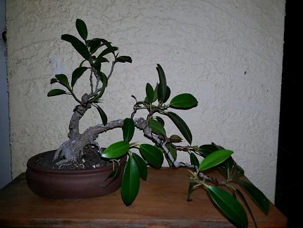 Bonsai, Ficus, 20 years old.