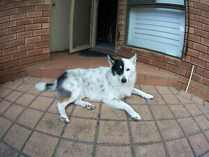 Beautiful Natured Border Collie X Mahomets Flats Geraldton City Preview