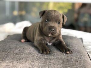 Blue American Staffy puppies